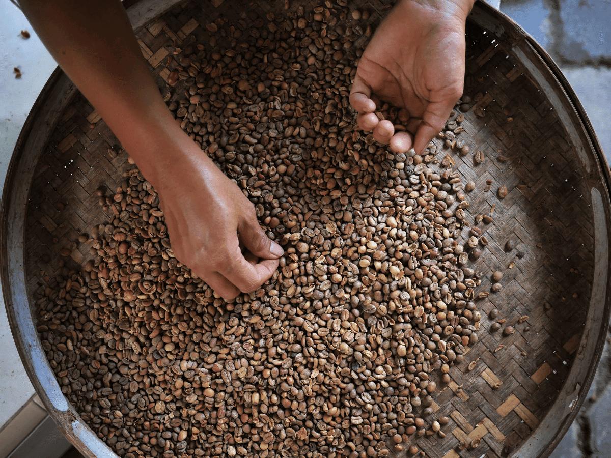 seleccion granos kopi luwak